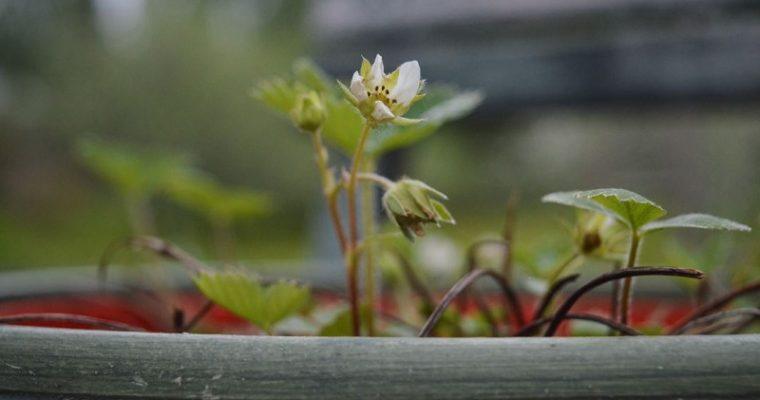 Pihallamme kukkii nyt…