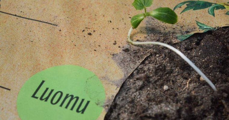 Luonnonmukaista kasvatusta ruukussa ja kasvusäkissä