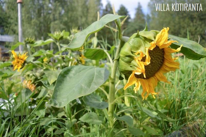 Kuulumiset puutarhasta ja pohdintaa sään vaikutuksesta omavaraisteluun